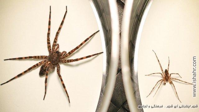 تولید مثل عجیب نوعی عنکبوت