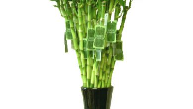 Photo of گیاه بامبو