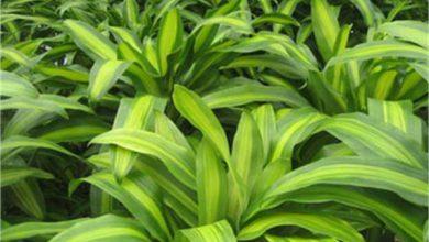 Photo of گیاه دراسنا برگ بلالی