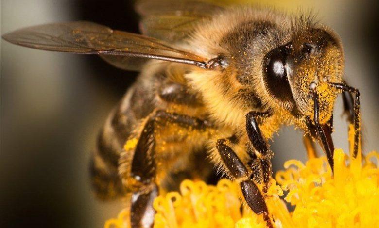 نیش زنبور آنتی بیوتیک بسیار قوی