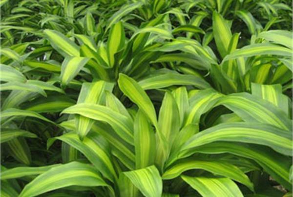 گیاه دراسنا برگ بلالی